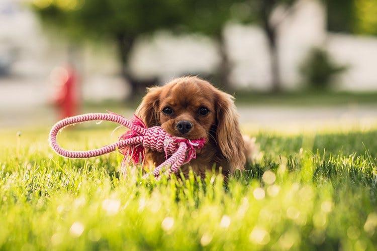 Dog,Mammal,Vertebrate,Canidae,Dog breed,Carnivore,Puppy,Grass,Companion dog,Cavalier king charles spaniel